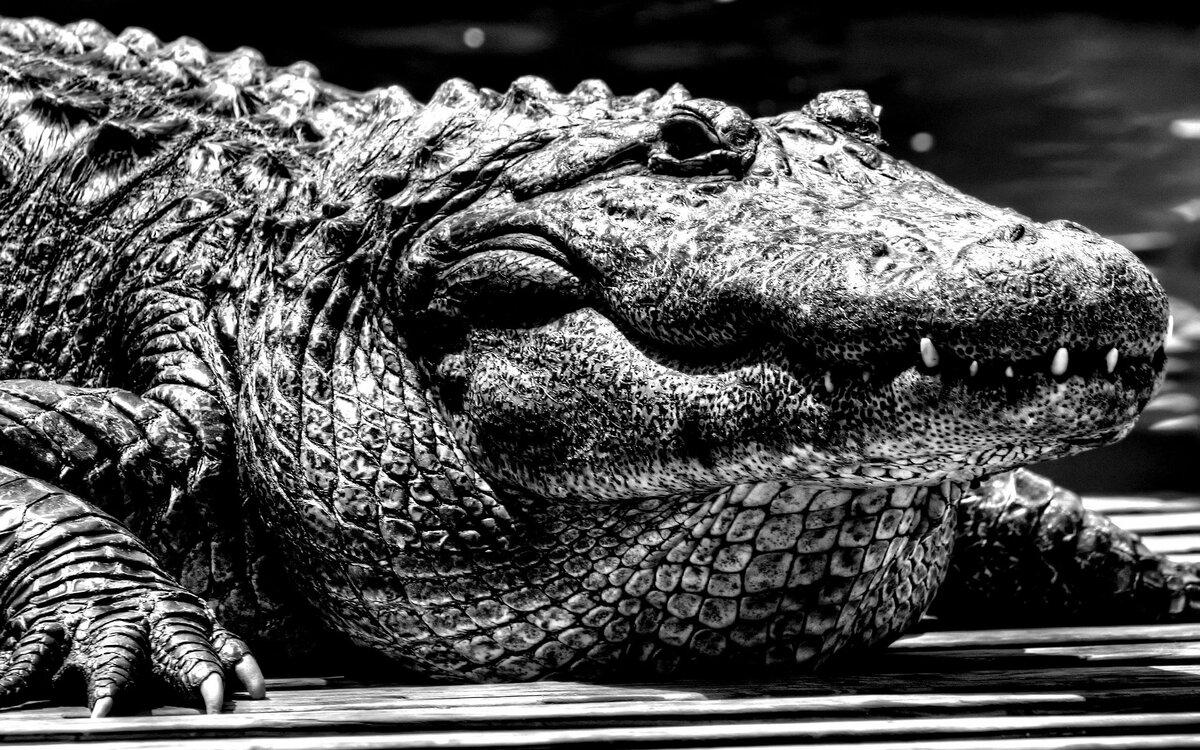 картинки крокодила на рабочий стол телефона фотографий симпатичных