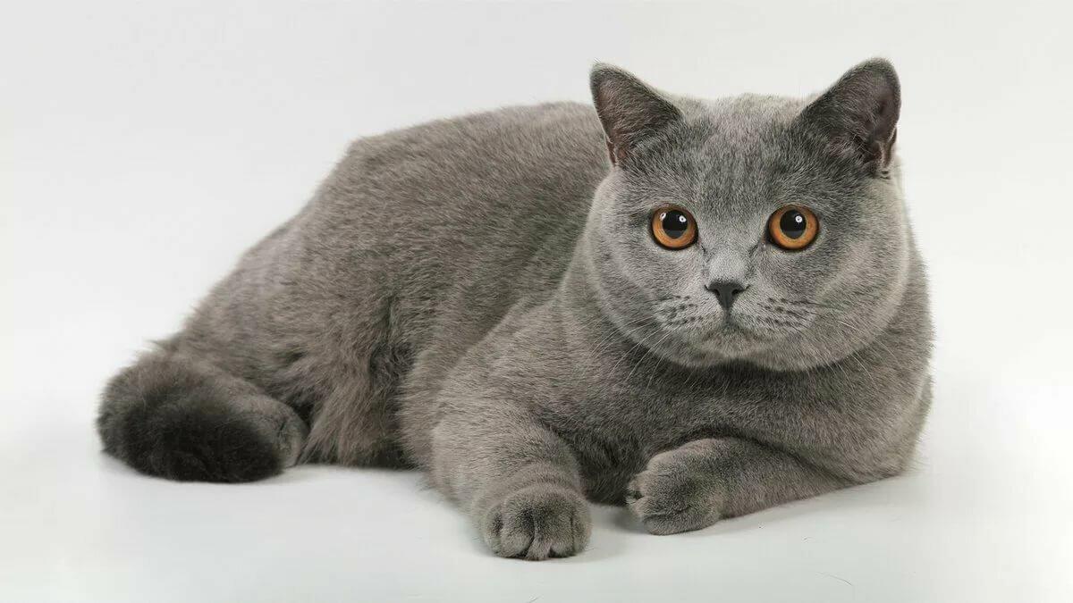 меня порода кошек британская короткошерстная фото кольца