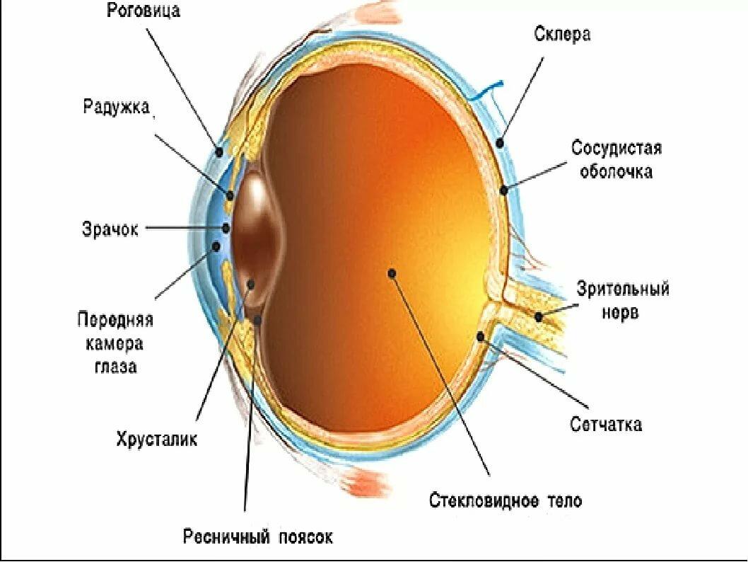 зрители схема строения глаза человека в хорошем качестве советуем трипстер причин