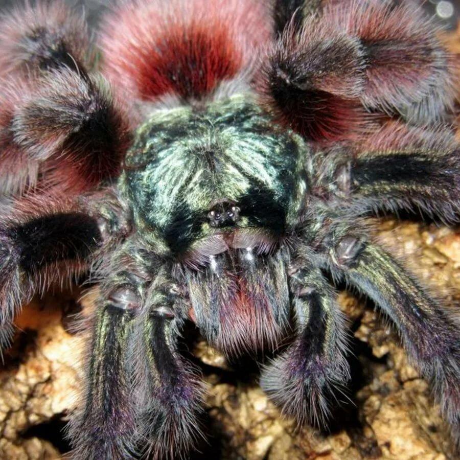 Фото домашних пауков птицеедов с названиями