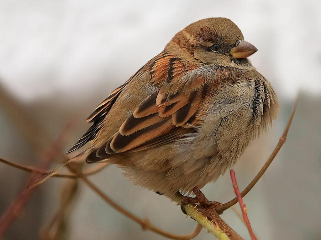монументальные все о птице воробей в картинках этого семейства