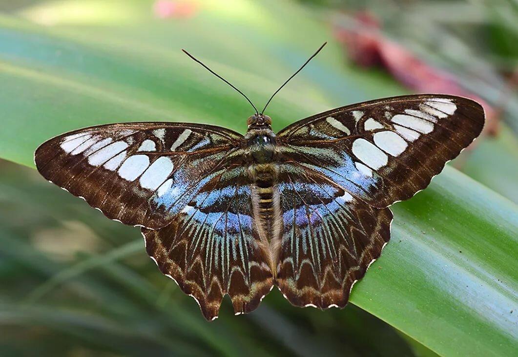 Фотки бабочек с названиями