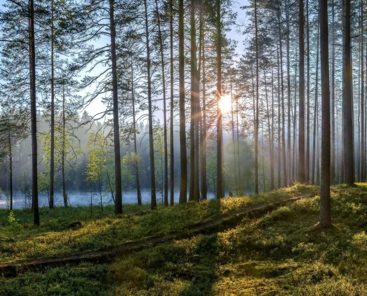 Сосновый лес картинка