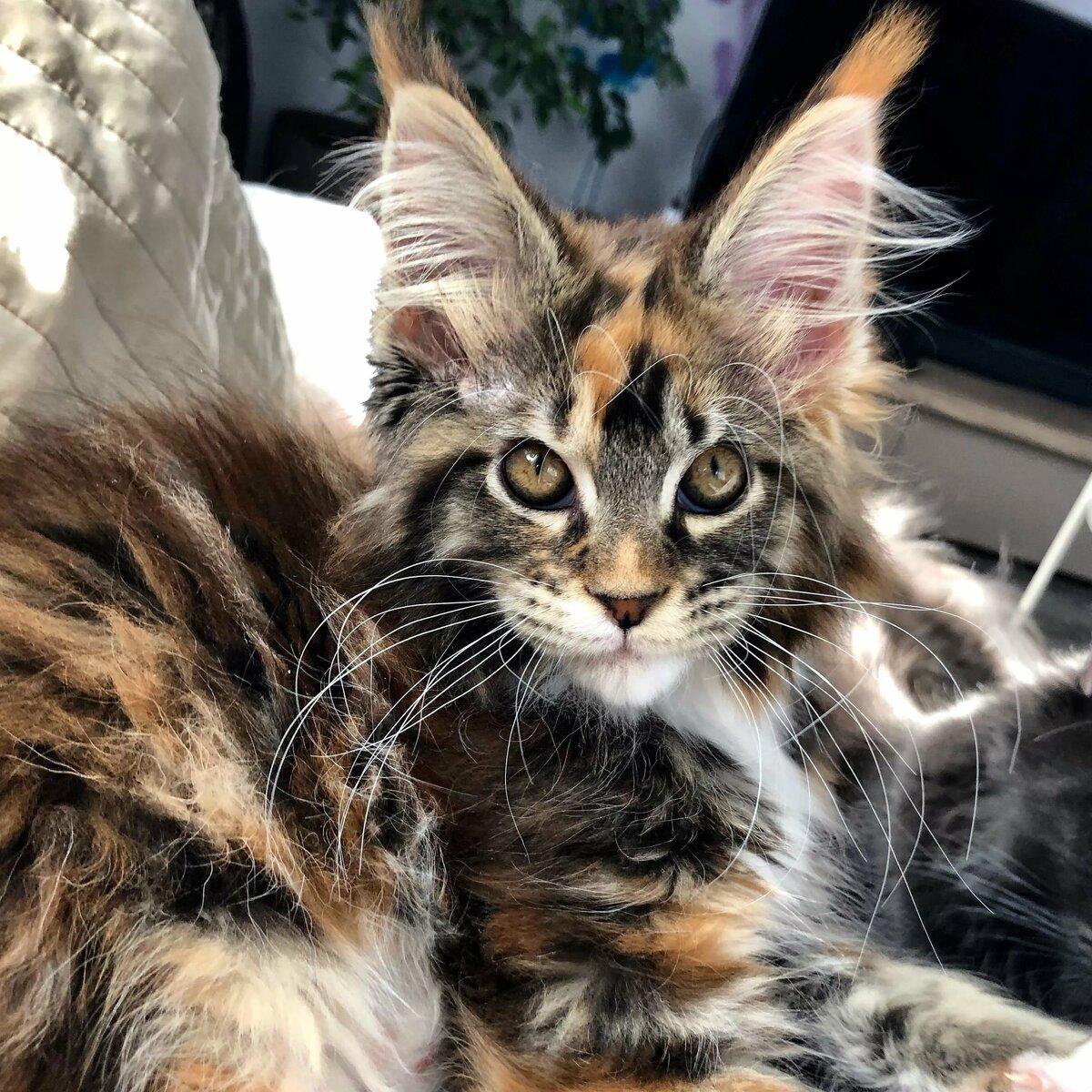 мейнкун кошки фото самый большой узнать, как