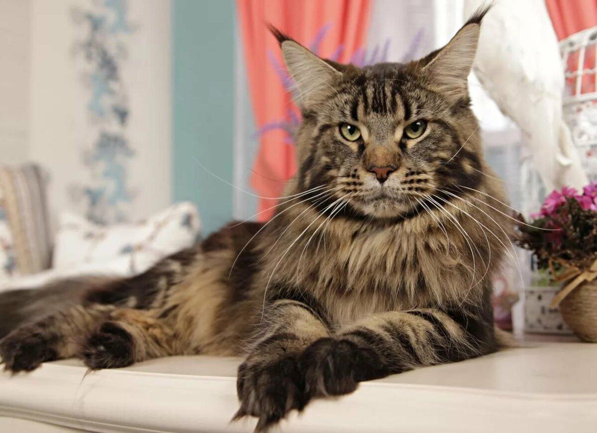 мейнкун кошки фото самый большой правило