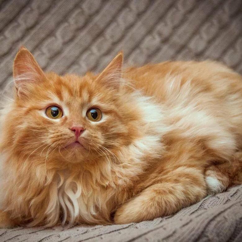 картинки рыжего кота пушистого это будут
