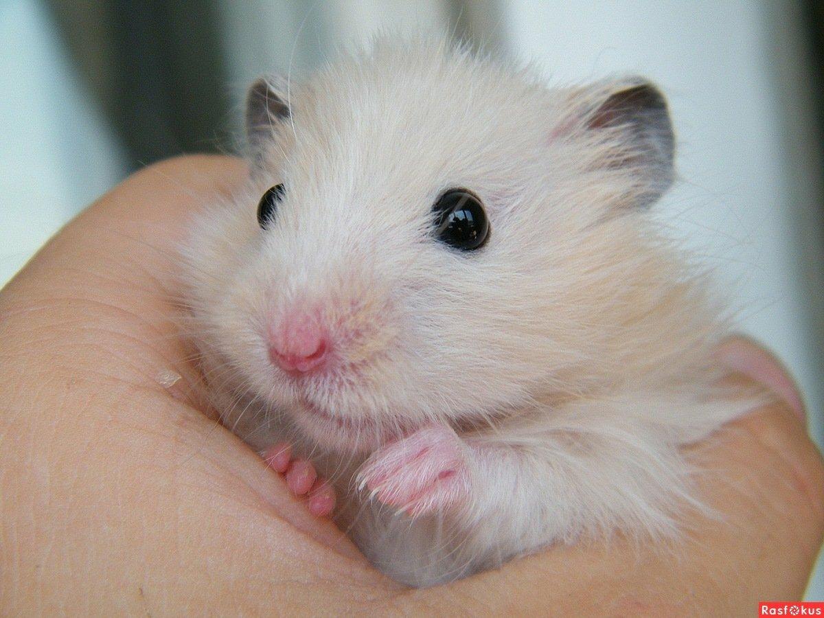 картинки белого хомячка растут