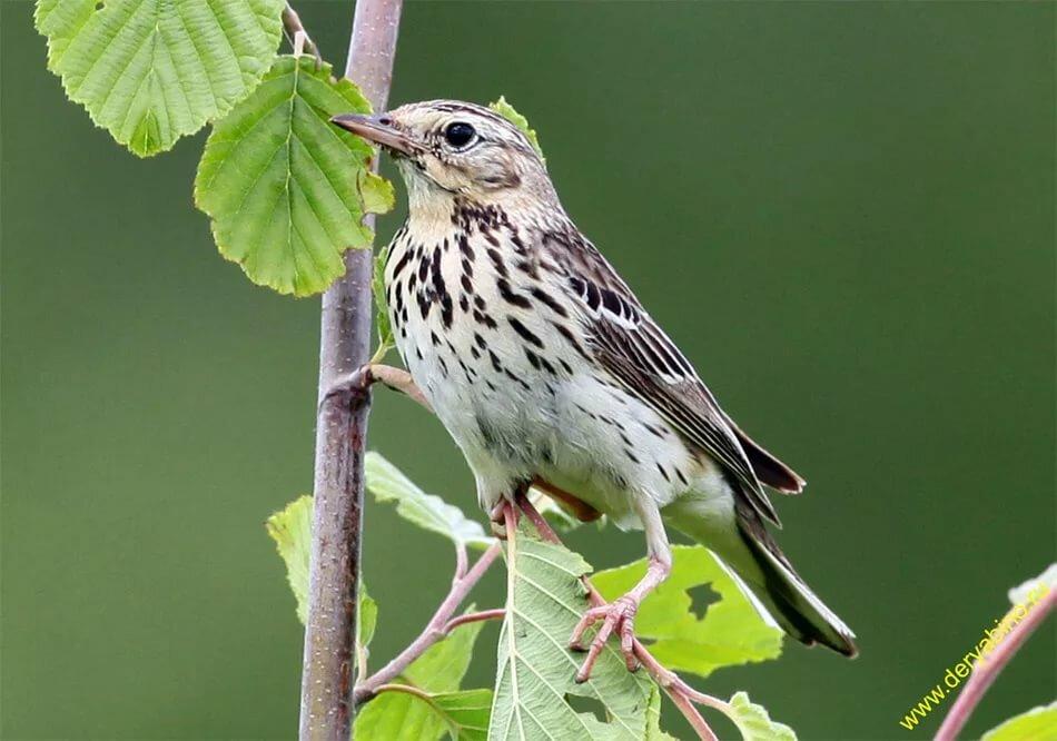 припуски картинка птицы конек указано, что