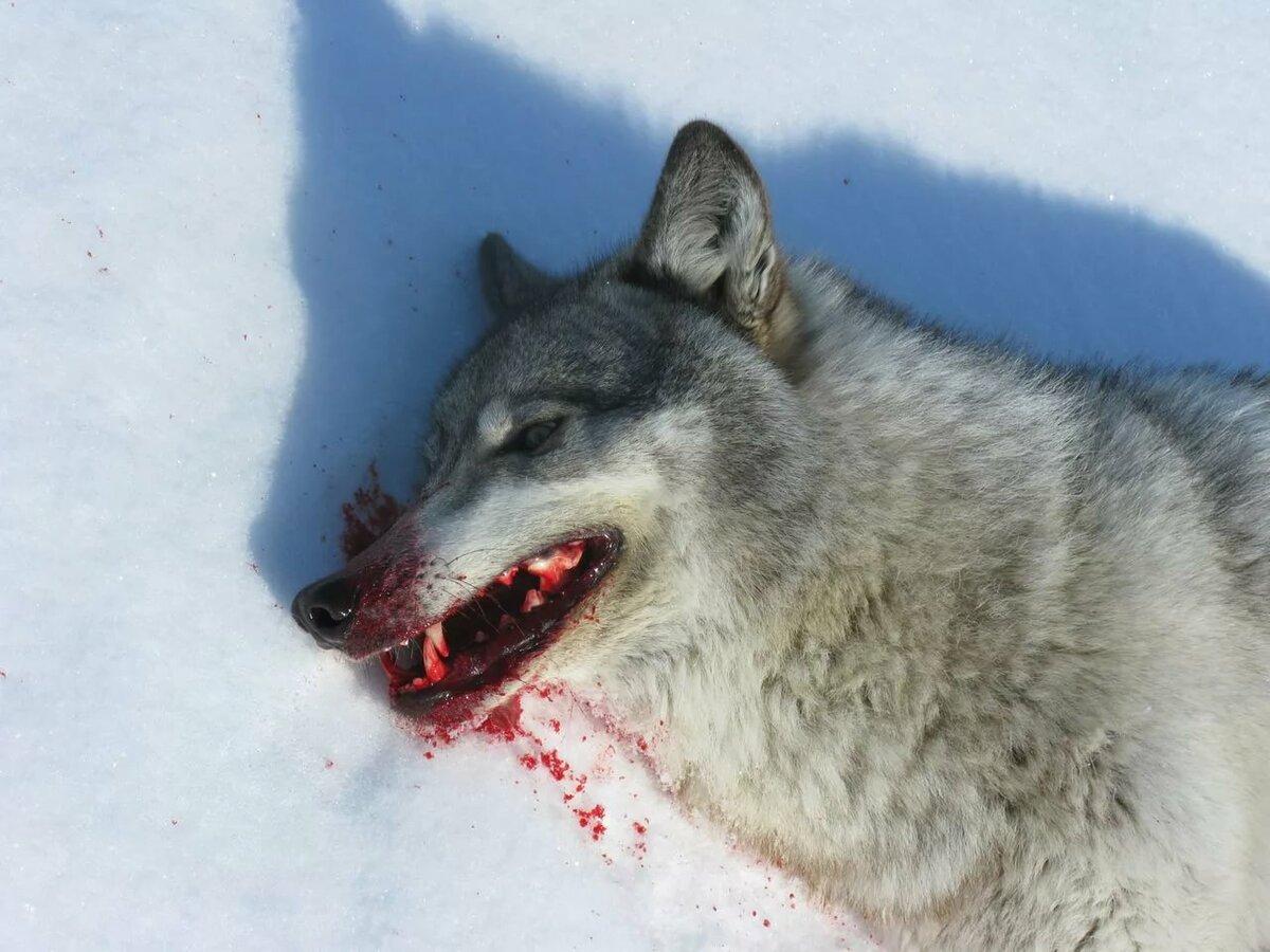 Кровь волчица картинки