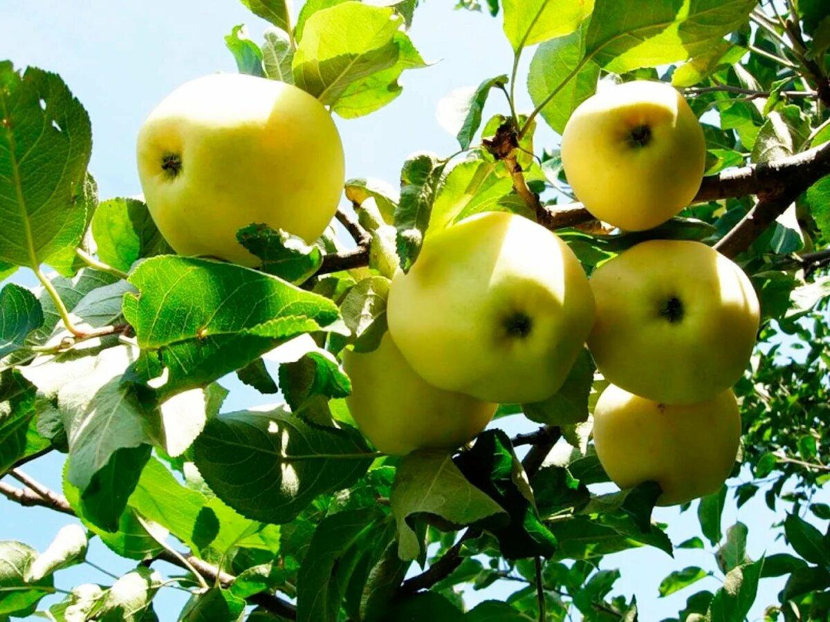 яблоня фото лимонки стоны ванной