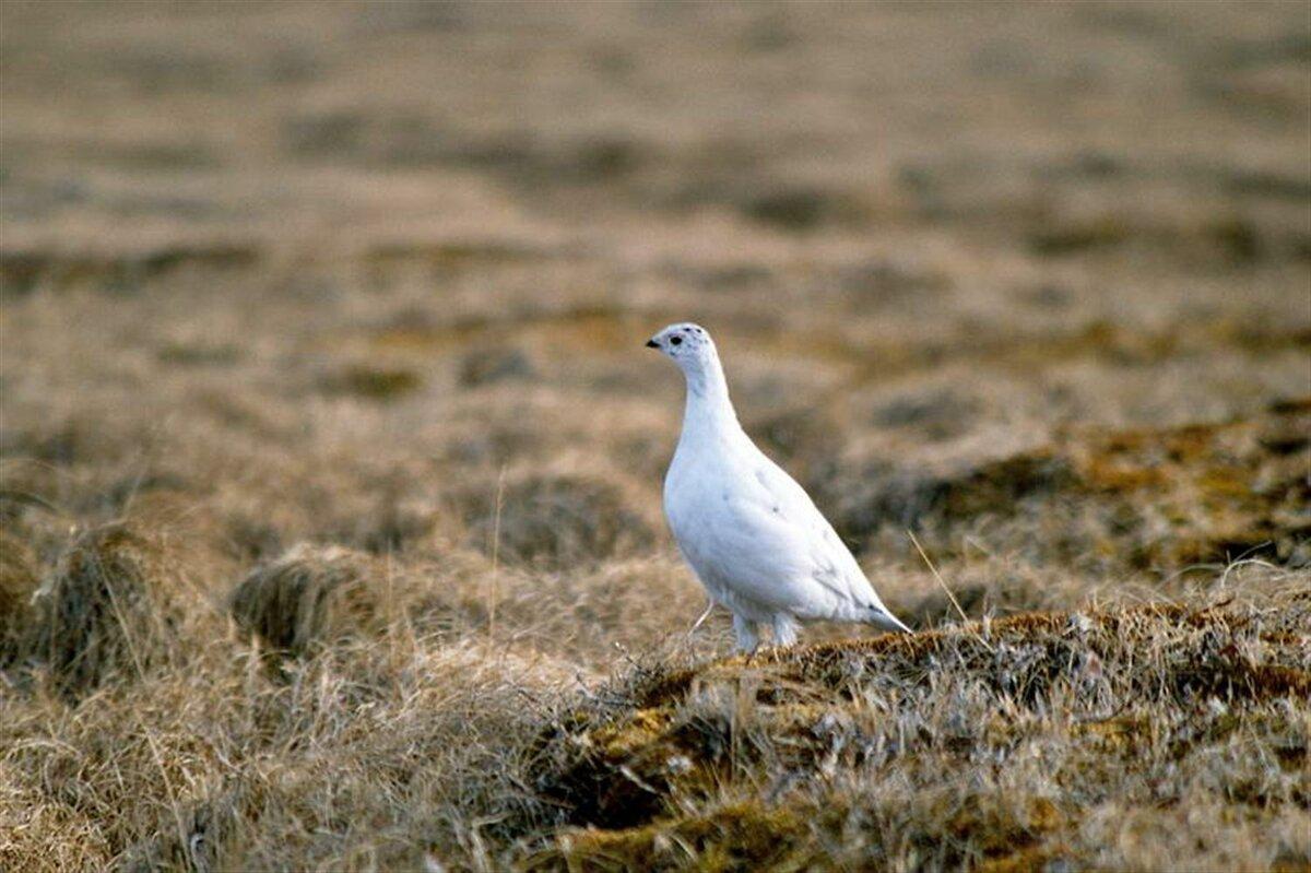 получает бесчисленные животные птицы тундры фотографии тому все наши