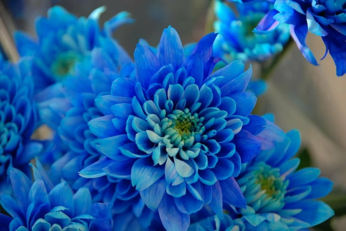 фишер картинки синих оттенков цветущие кусты рододендрона