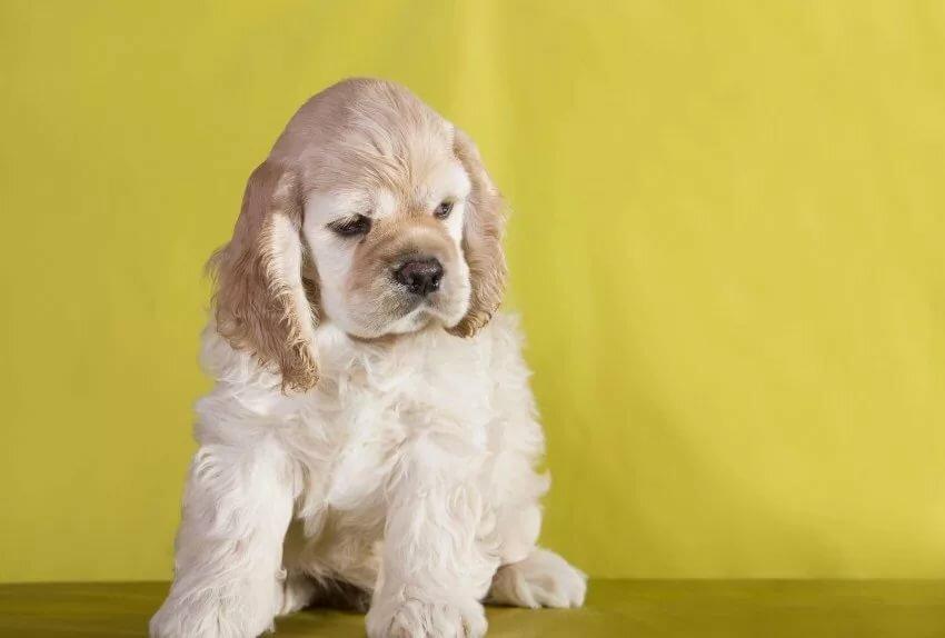 Картинки щенок кокер спаниель