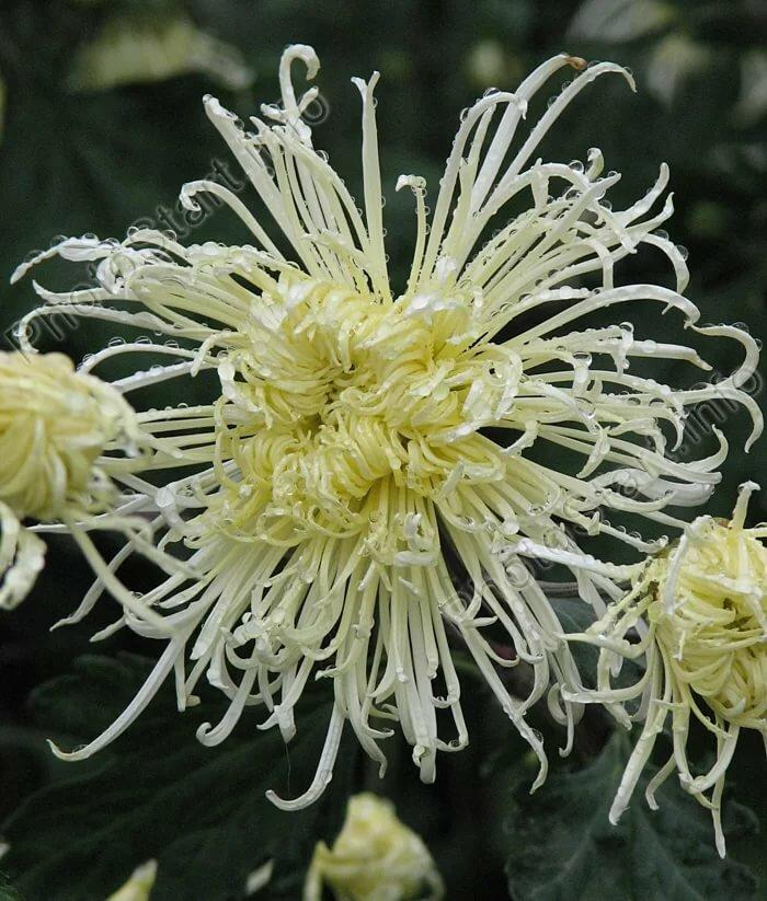 Хризантемы вьющиеся сорта фото