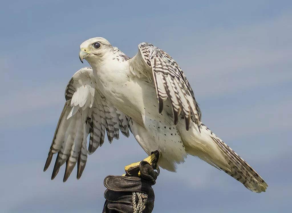 Фото картинки кречет птиц