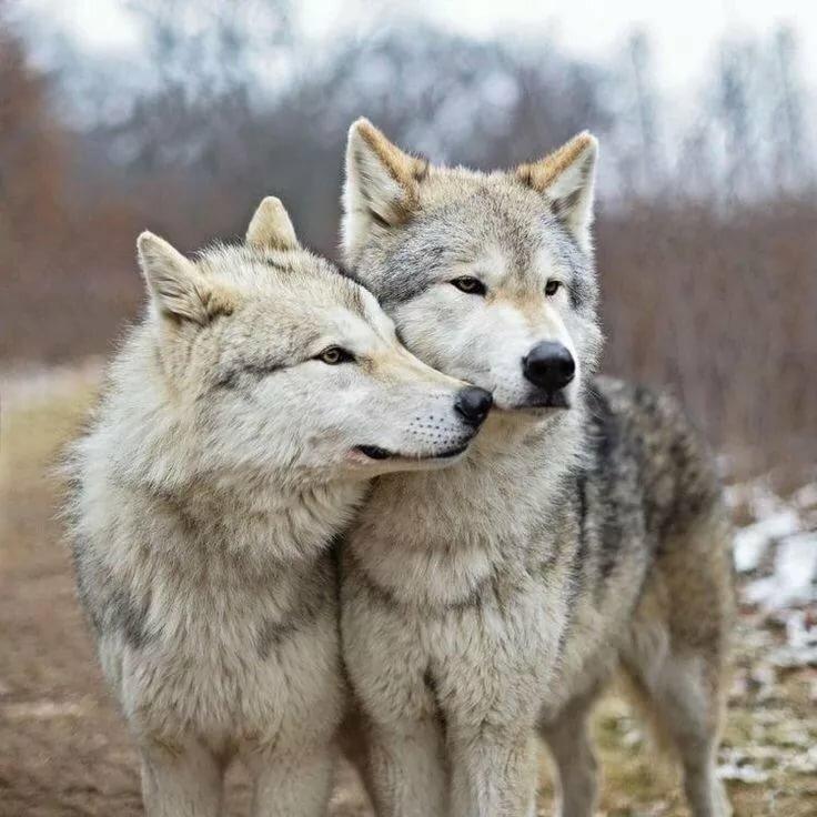 Волк картинки любовь