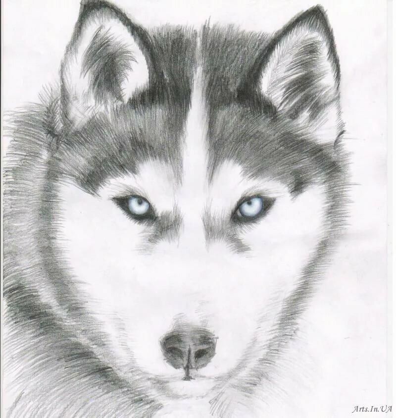 Картинки собак хаски рисунки