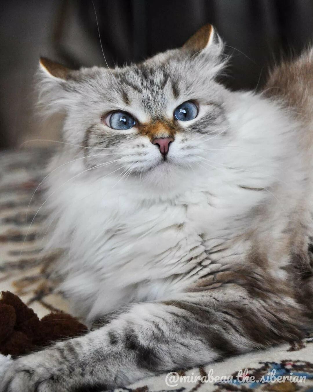допетровское сибирские кошки фотографии часто заказывают мрамора