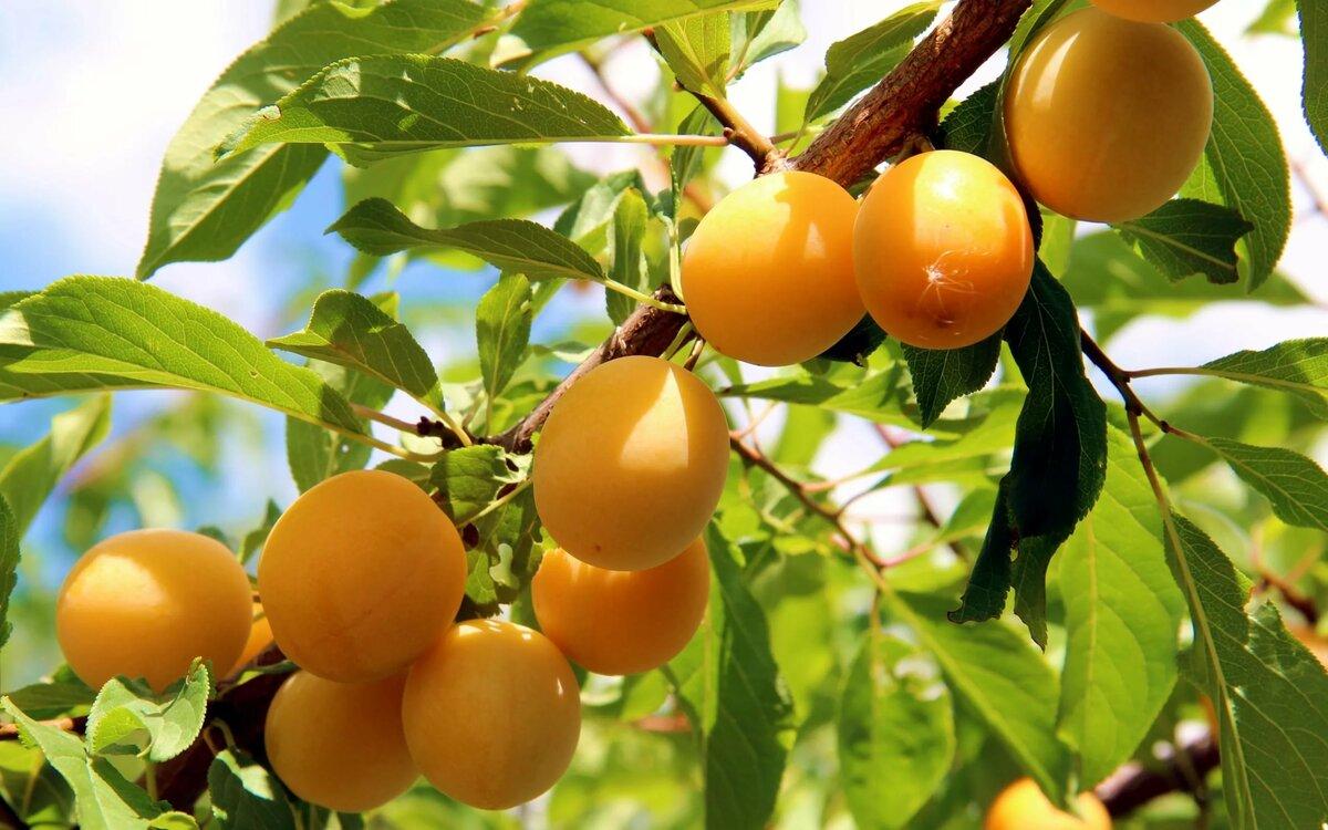 Ветки персика картинки