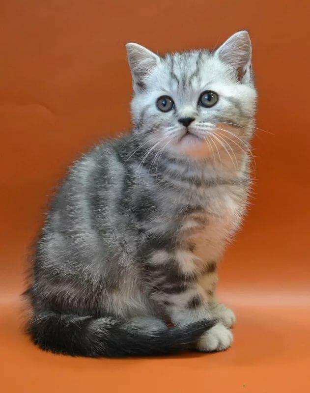 Картинки кошек шотландских прямоухих