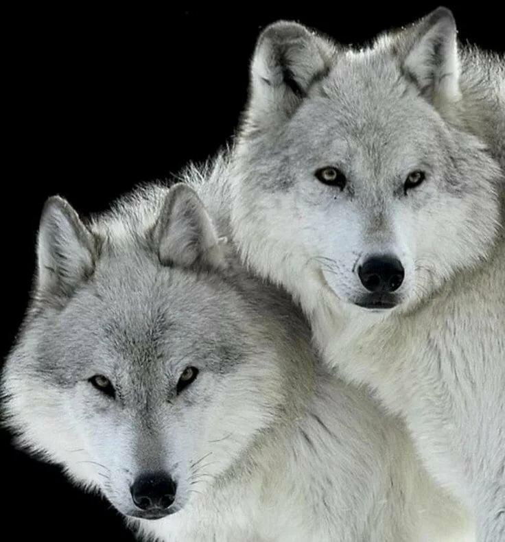 белые волки пара картинки стараемся, чтобы