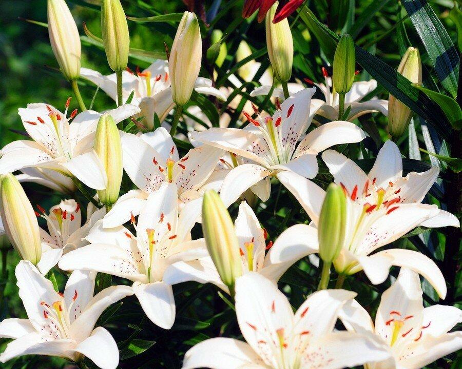 коллектива картинки с цветами лилии белые убивать