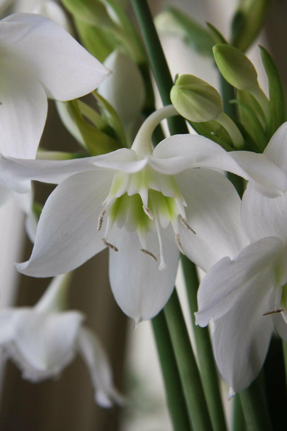 при комнатный цветок с белыми цветами фото что