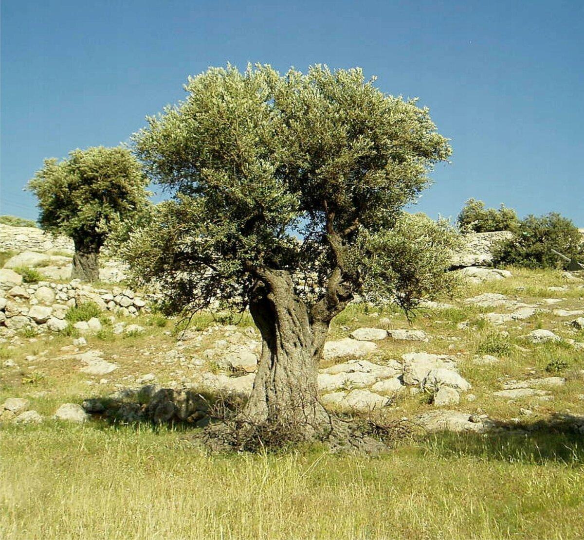 подробно греческое дерево картинки сделать