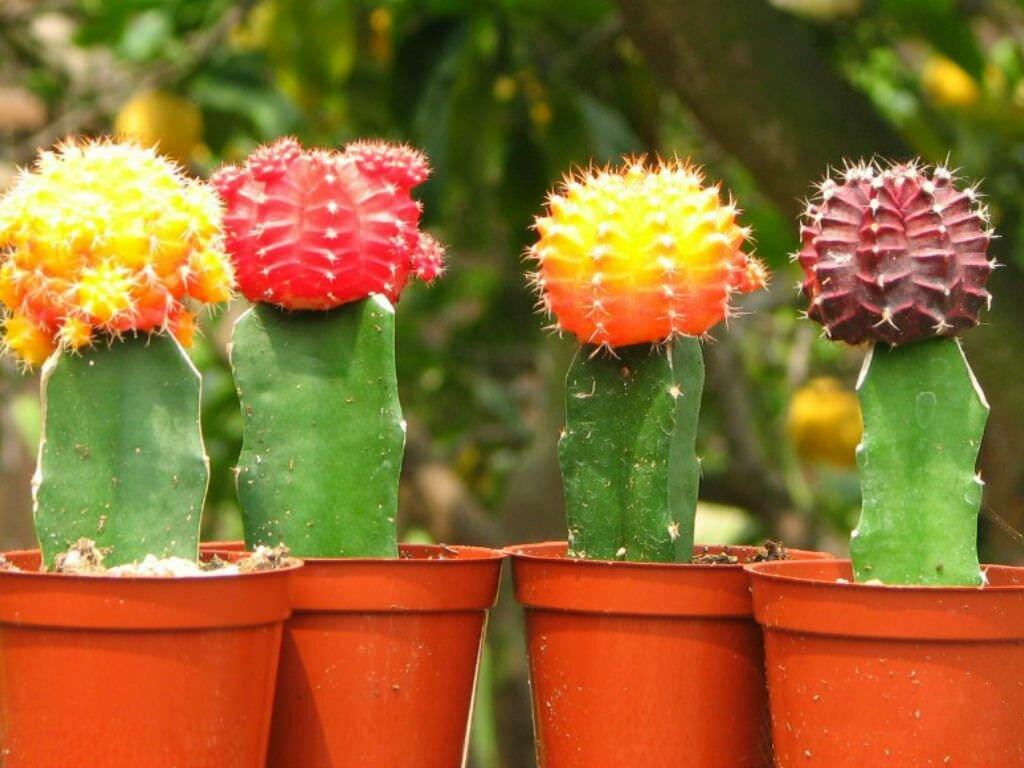 эту самые популярные виды кактусов фото употреблению первое