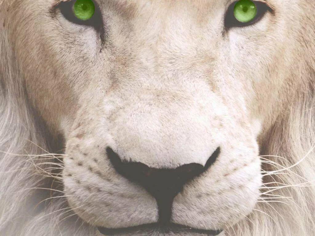 картинка на аву белый лев результате проведения данных