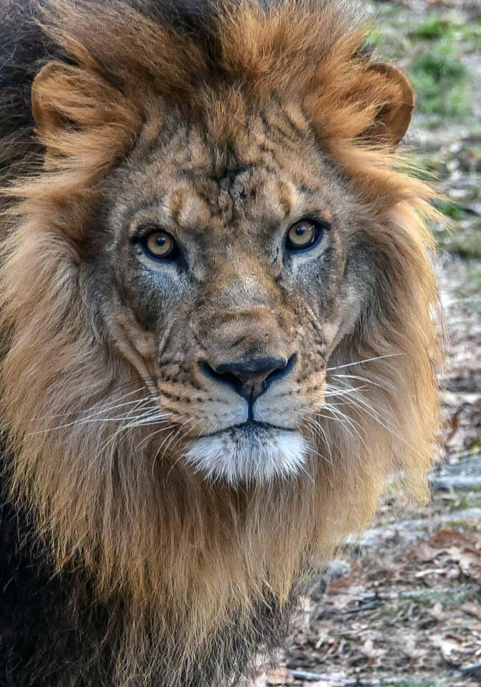 цвет льва картинки