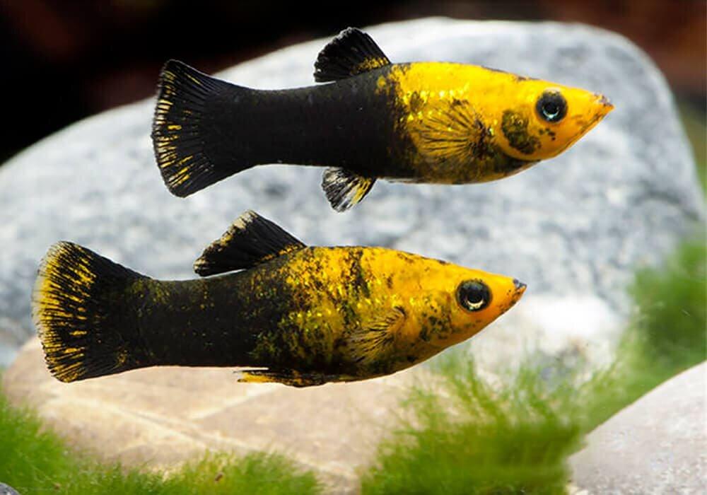 Картинки моллинезии рыбки