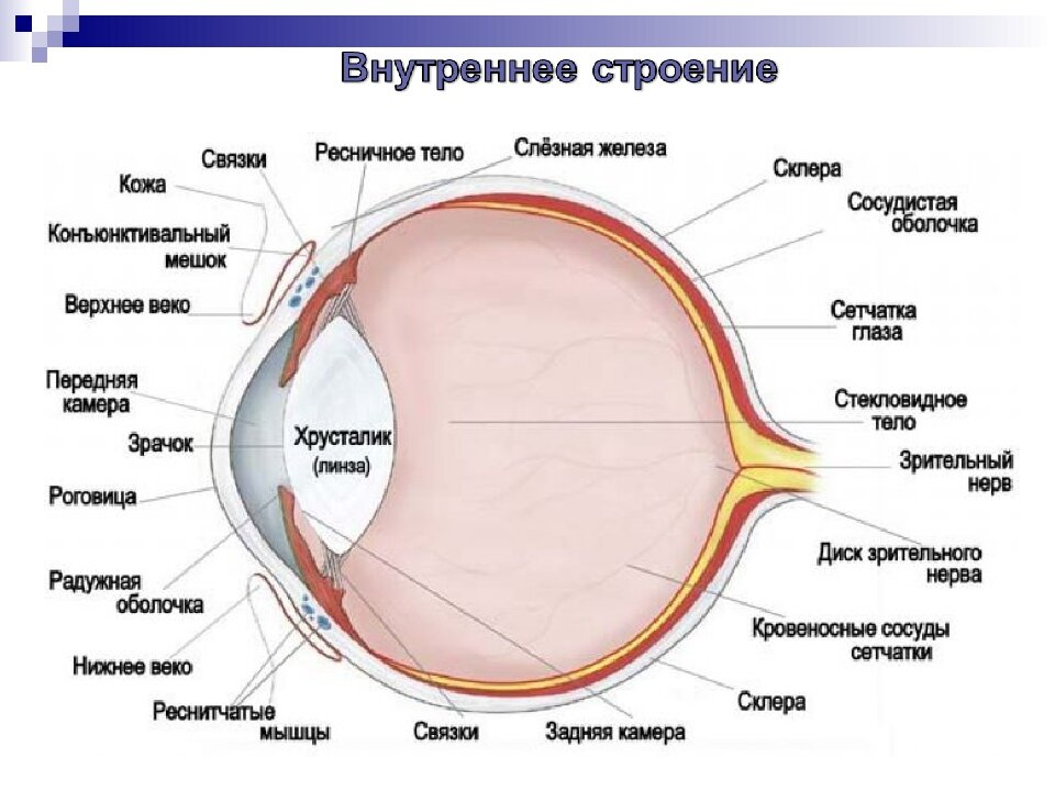 глаз строение глаза человека картинки для арендаторы заселились