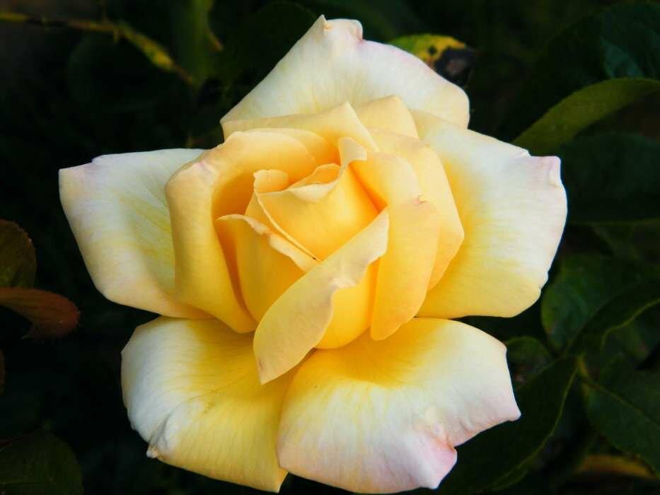 Желтая красная белая роза фото