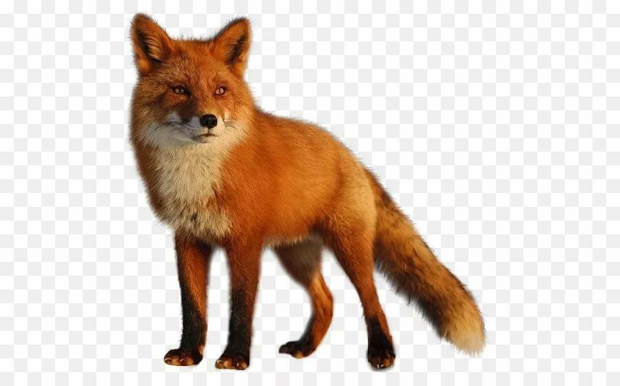Предметная картинка лисы