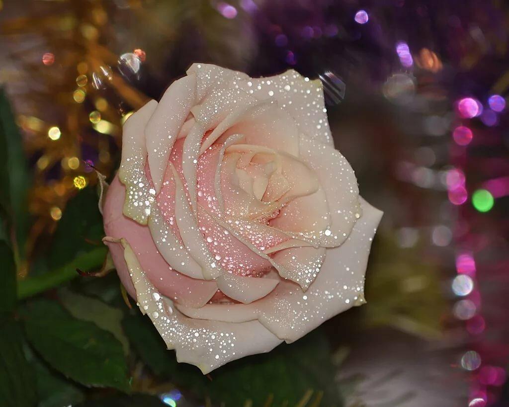 розы сияющие фото можно