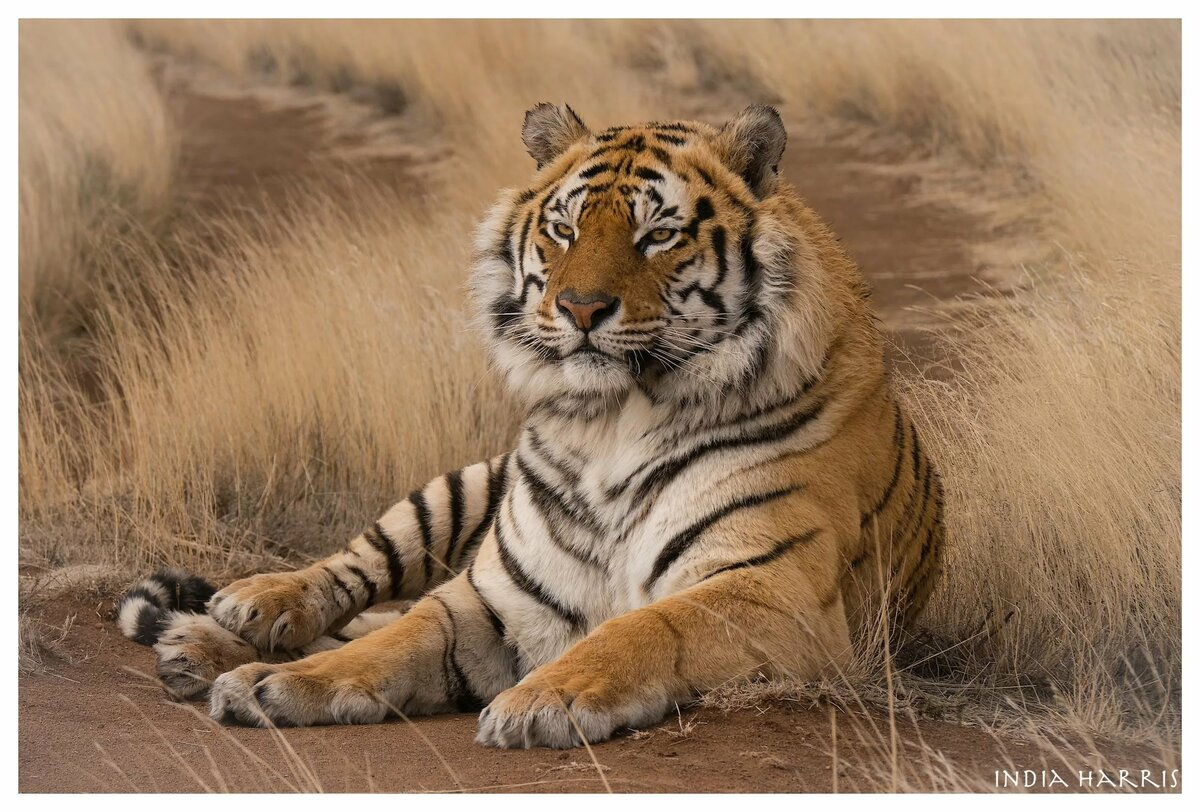 Картинки тигров красками отдела