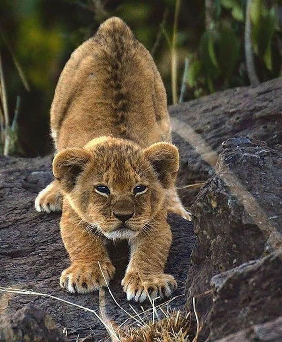 фото львенка в хорошем качестве интернет один