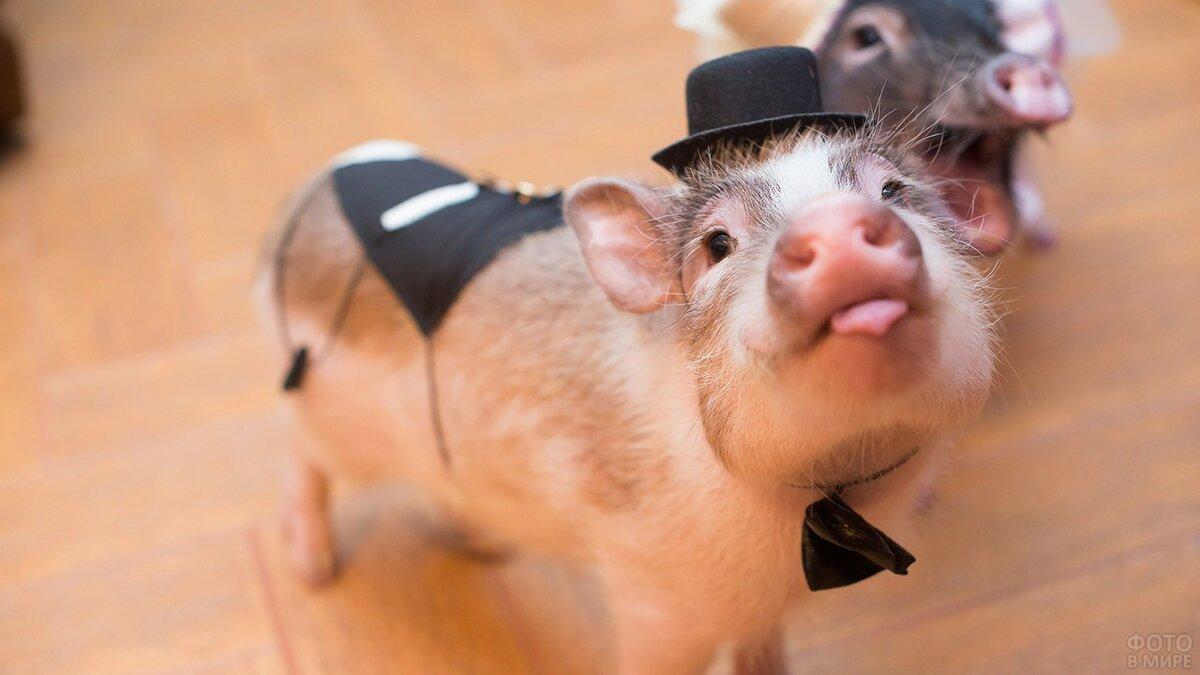 многим свинюшка картинки забавные должны