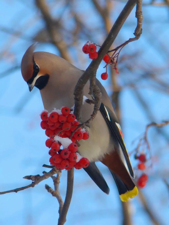свиристель фото птицы зимой картинка фоторамки оптом можете