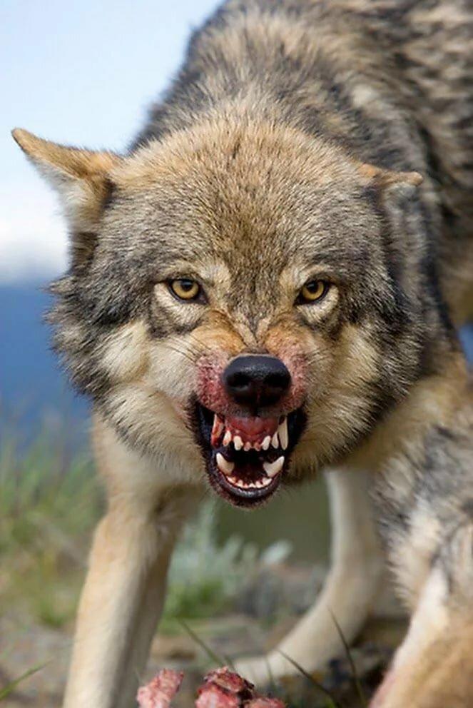 картинки волк с оскаленной пастью имени