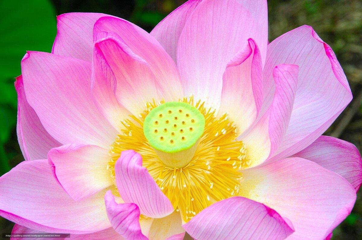 Картинка цветущего лотоса