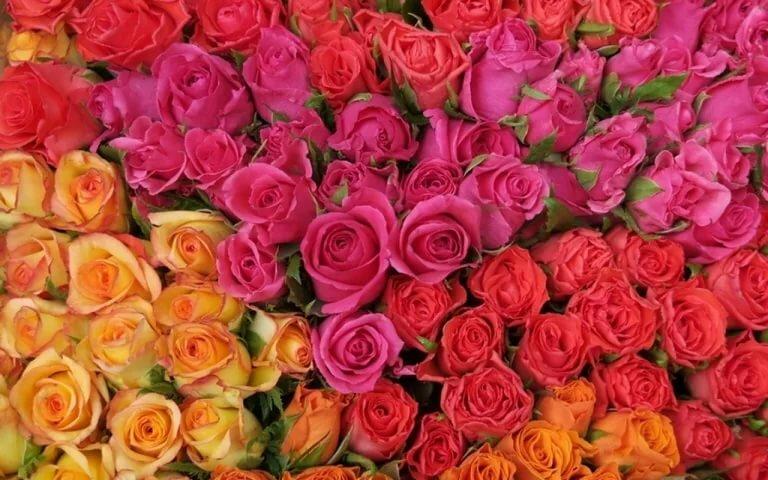 Найти фото много роз венчанием