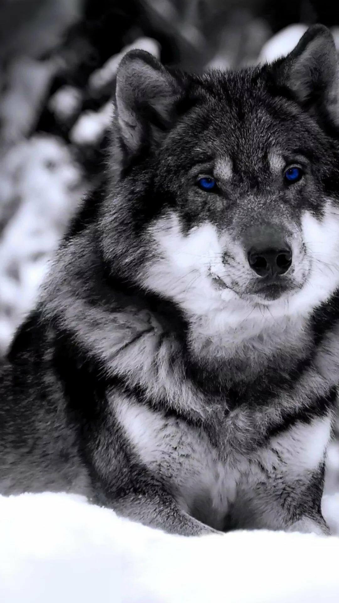 время, волк фото на айфон этой