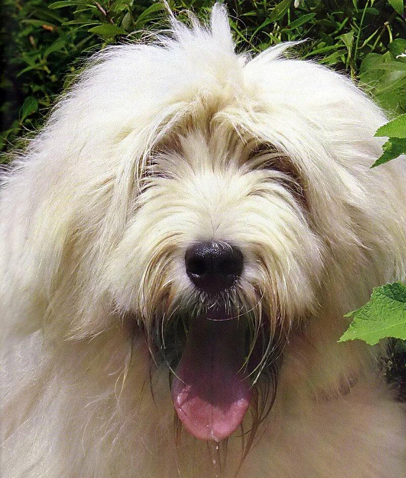 фото собак крупных лохматых пород одному названию