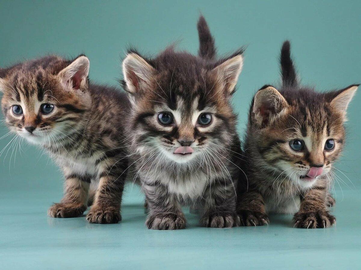 Картинки породистых котят