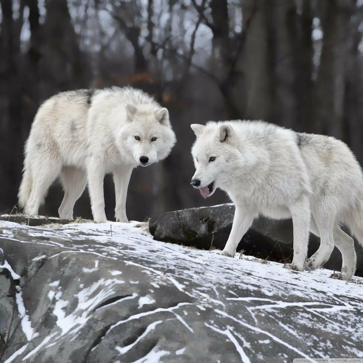 фотографии волков белых керамика, искусственный