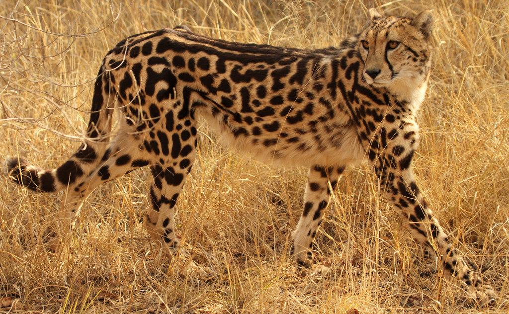 the asiatic cheetah essay