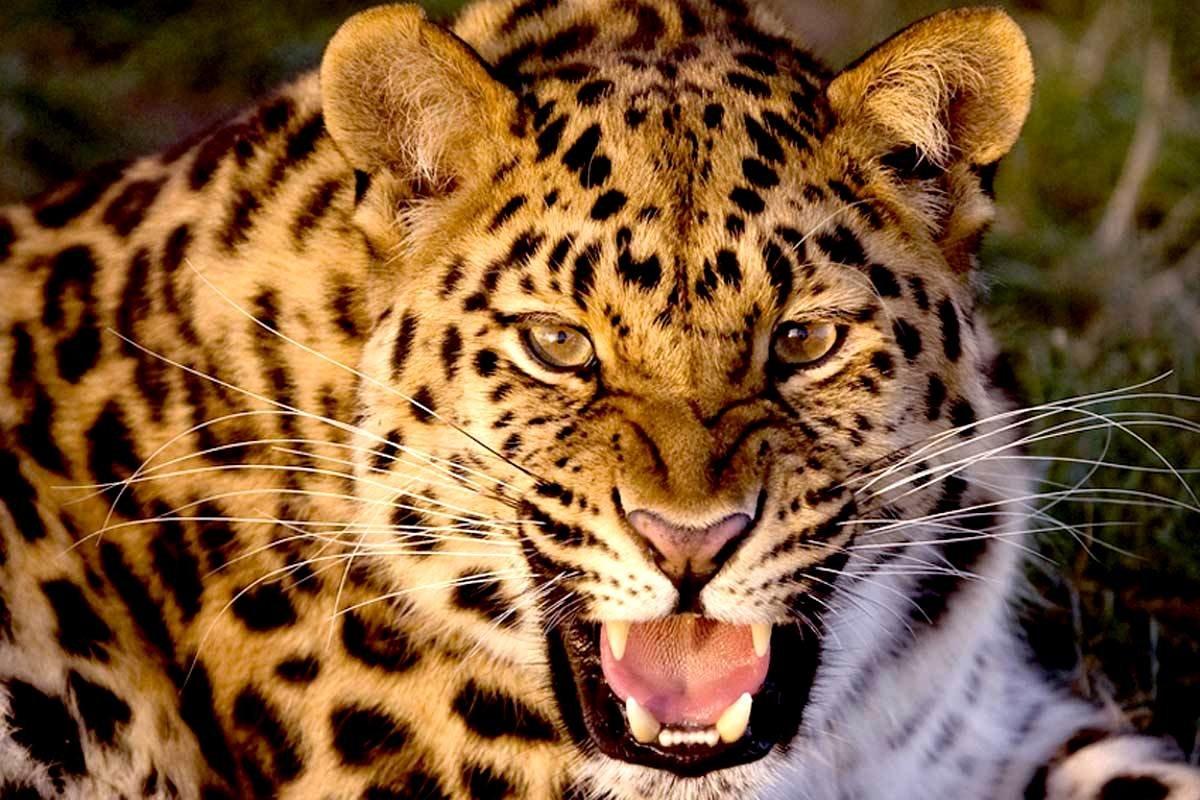 Картинка красный леопард