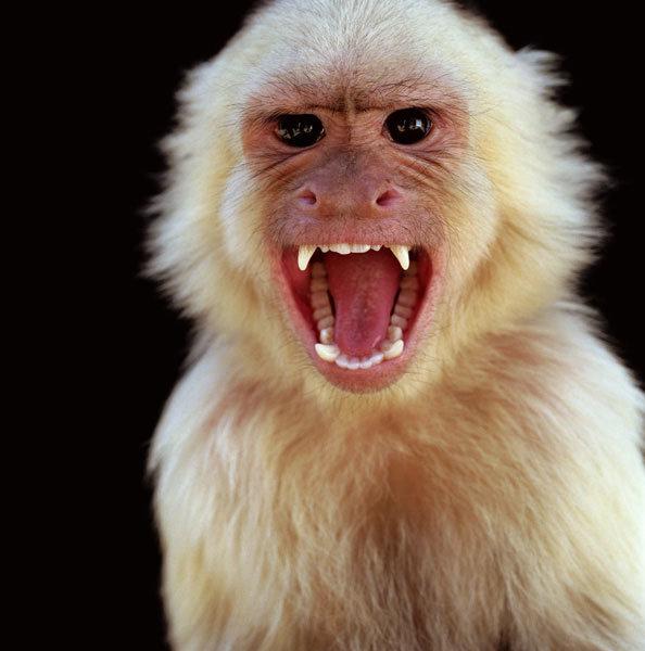 Картинка злой обезьяны